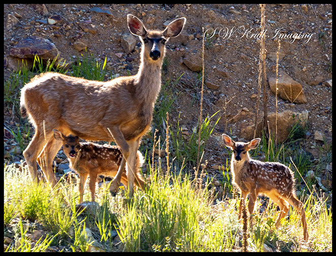 Mama Deer and Fawns