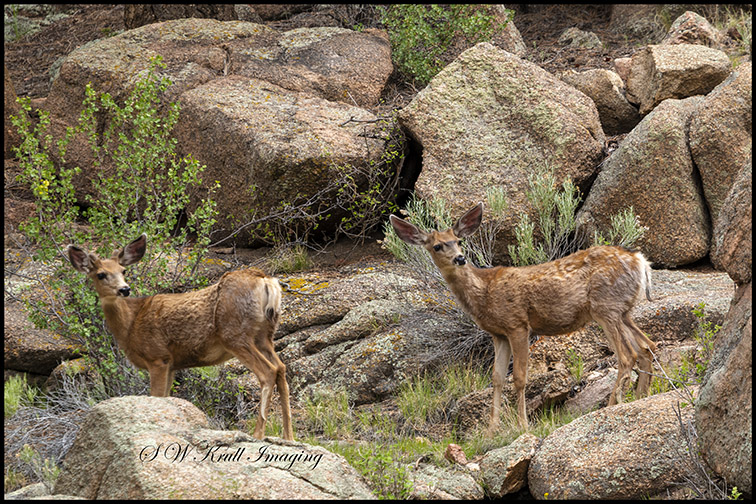 Eleven Mile Canyon Deer
