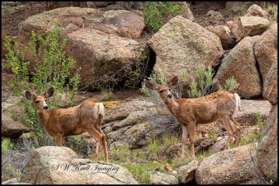 Eleven Mile Canyon Deer