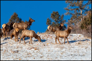 Elk in Fresh Snow