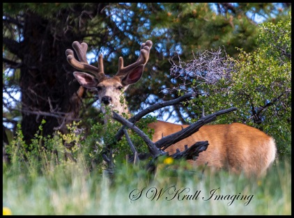 Beautiful Buck Deer Sprouting Antlers
