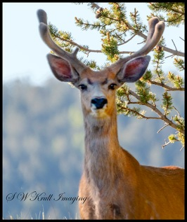 Young Buck in the Colorado Rockies