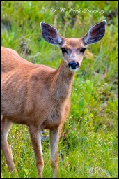 Cute Doe Mule Deer