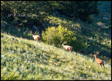 Elk Running in the Colorado High Country