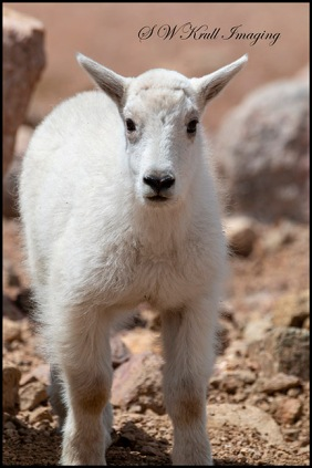 Baby Mountain Goat on Mount Evans Summit