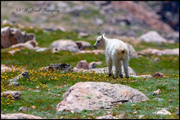 Baby Mountain Goat in Wildflowers