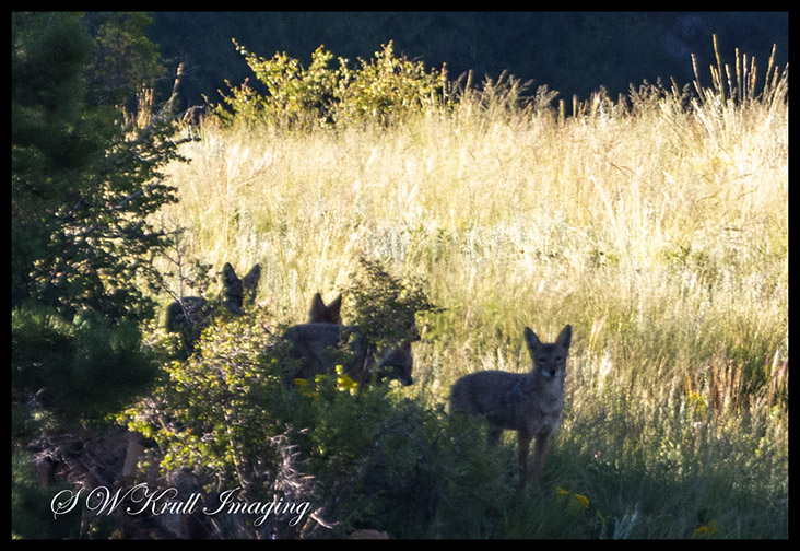 Small Pack of Coyotes