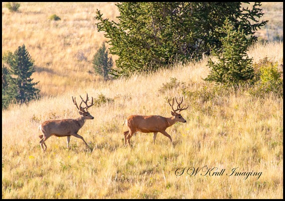 Bucks in Grouse Meadow