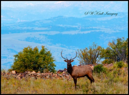 Lone Bull Elk in the Rockies