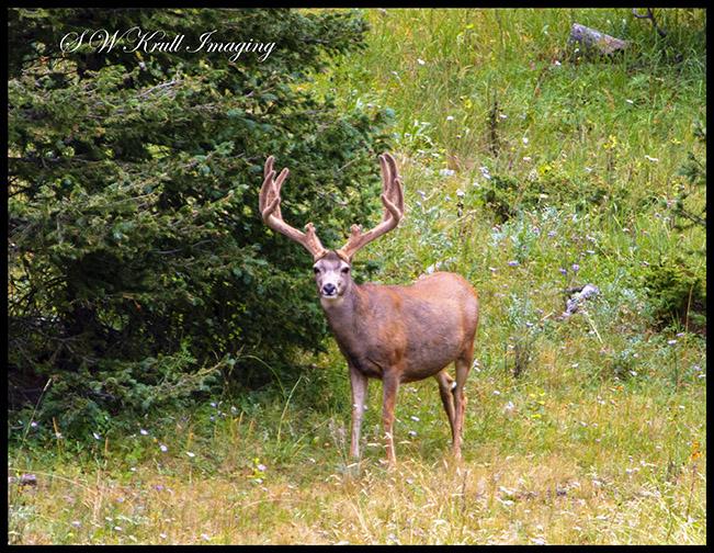 Mule Deer in the Wilderness