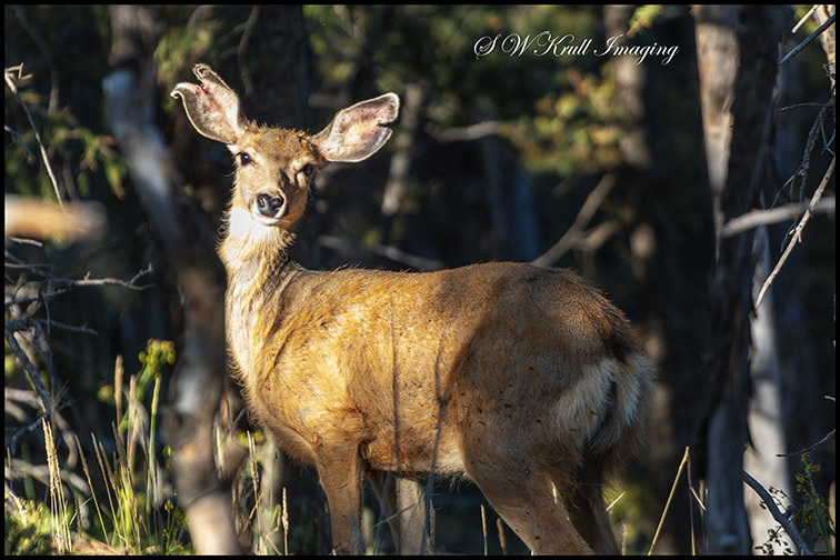 Deer Herd in the Wilderness