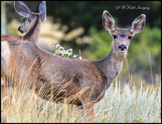 Pair of doe mule deer