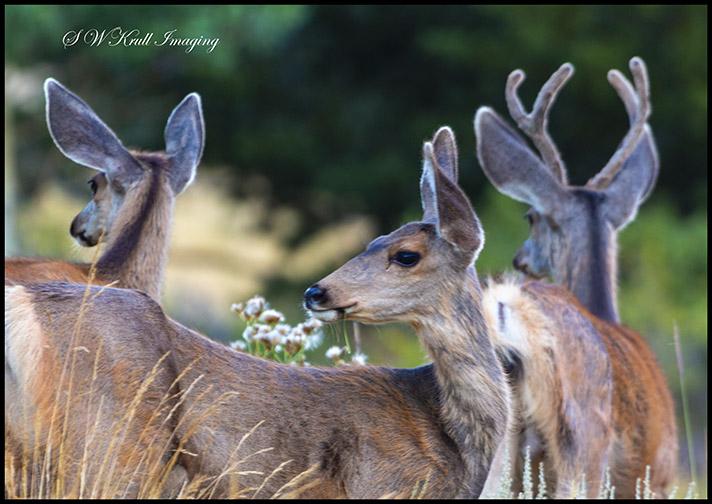 Pair of doe mule deer and a buck