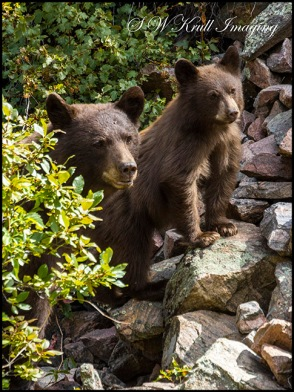 Colorado Black Bear Family