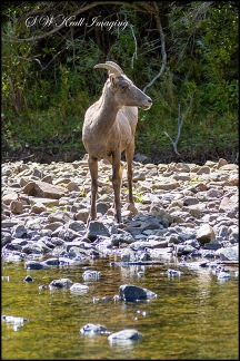 Bighorn Sheep Cooling in the Platte River