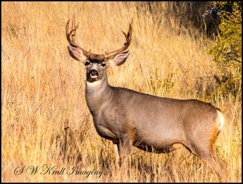 Buck Mule Deer Autumn