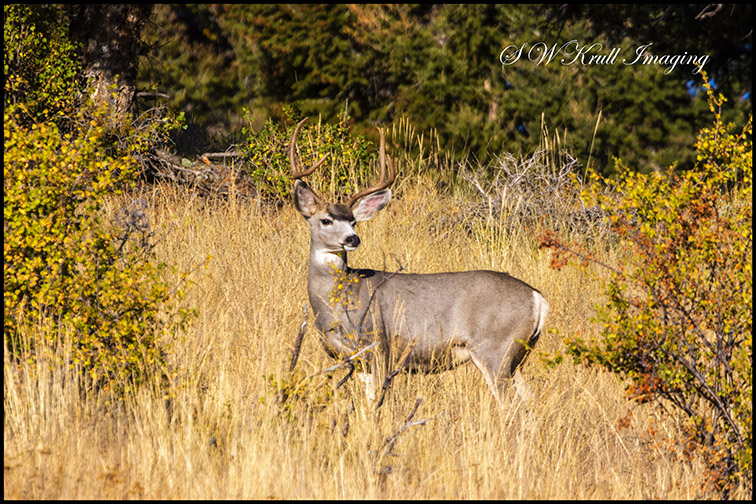 Buck Mule Deer Autumn