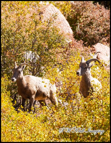 Autumn and the Bighorn Sheep