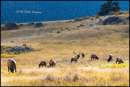 Elk Herd on a Beautiful Rocky Mountain Evening