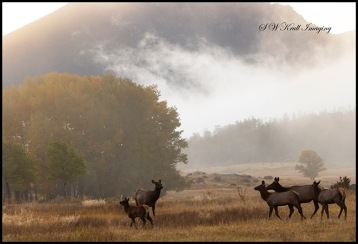 Elk Herd on a Beautiful Misty Rocky Mountain Morning