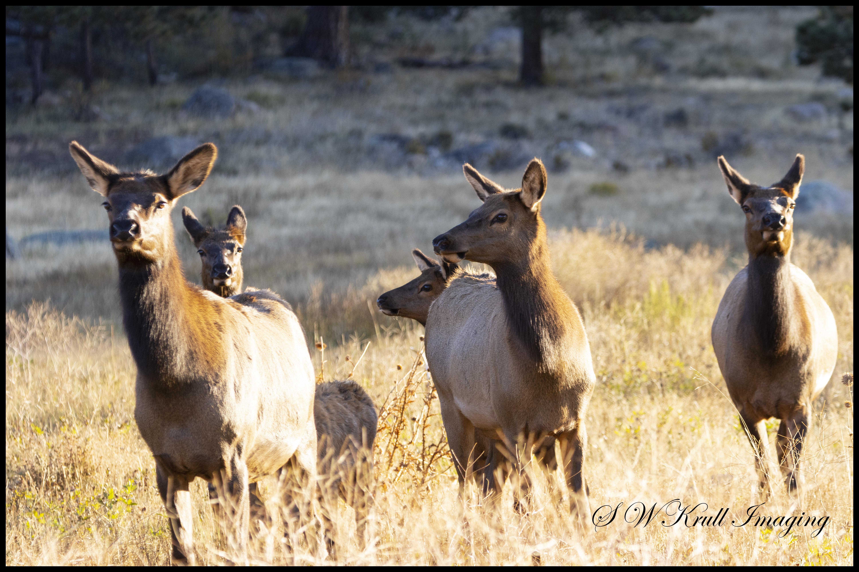 Herd of Elk on a Foggy Morning
