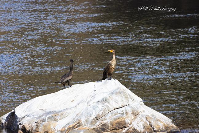 Cormorants on Rock in River