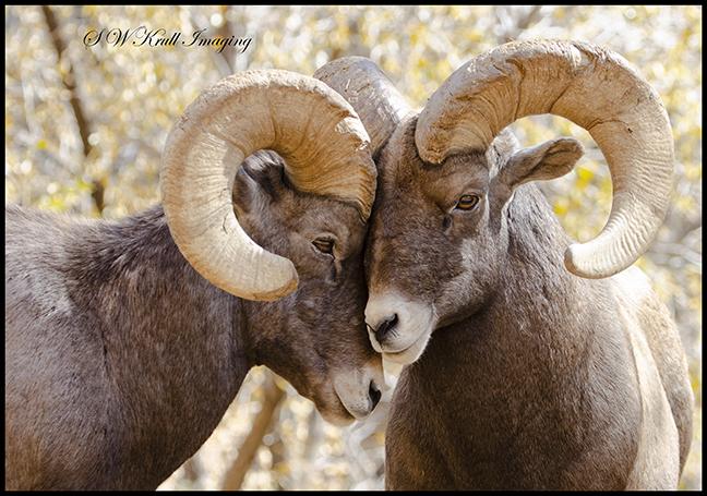 Bighorn Sheep In Waterton Canyon