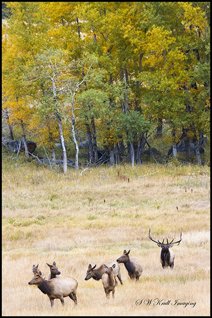 Elk Herd on a Beautiful Rocky Mountain Autumn Evening