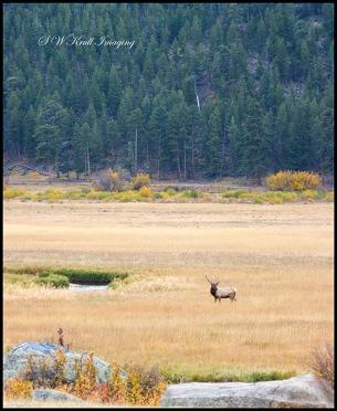 Lone Bull Elk