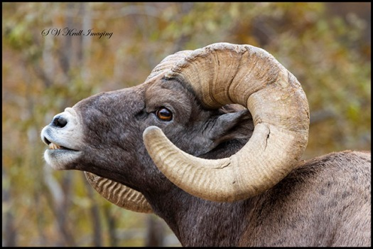 Bighorn Sheep In Autumn Colors