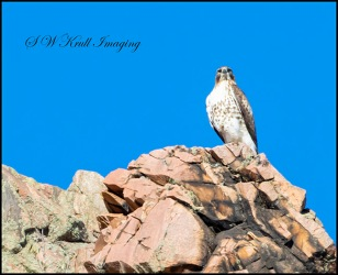 Red-taile Hawk in Waterton Canyon