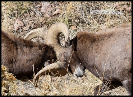 Bighorn Rut Season in Waterton Canyon