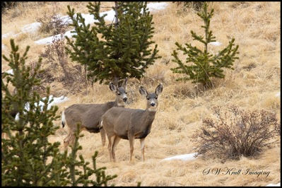 Herd of Mule Deer in the Rocky Mountain Winter