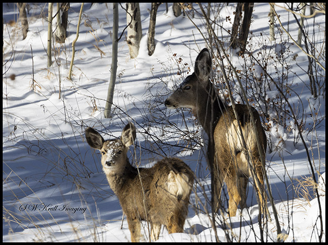 Fiisky Herd of Mule Deer in the Snow