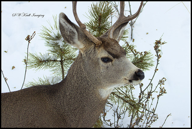 Young mule deer buck in the snow