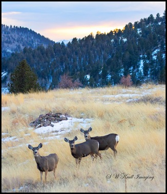 Herd of Mule Deer in the Colorado Wintertime