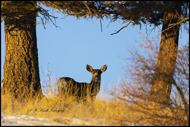 Small herd of mule deer enjoying a beautiful Colorado winter morning
