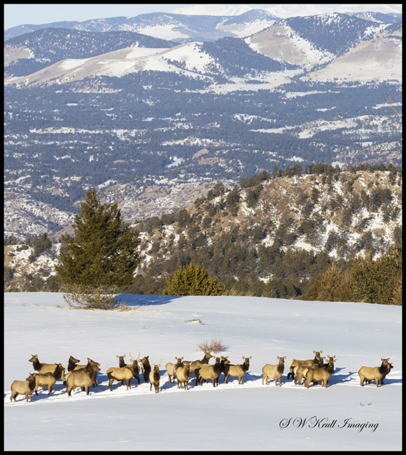 Elk Herd on Snowy Mountain