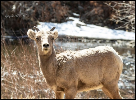 Bighorn Sheep in Waterton Canyon by the South Platte River