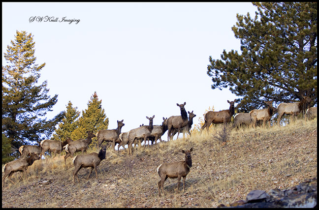 Elk Herd on the Mountain