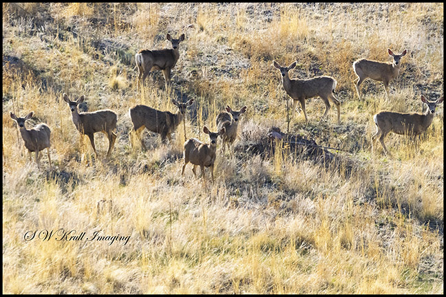 Distant Herd of Mule Deer