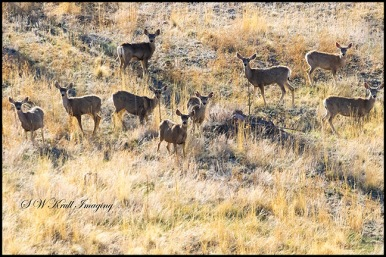 Distant Herd of Mule Deer