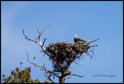 Bald eagle and her chick