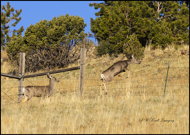 Mule deer bucks in the early morning sun