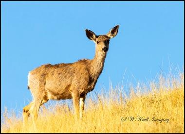 Sunrise Mule Deer Bucks