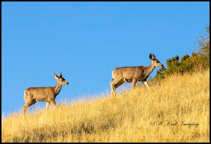 Sunrise Mule Deer Bucks