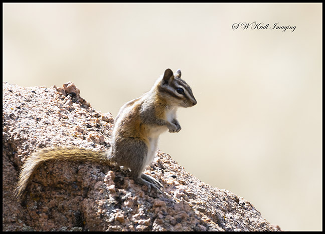 Chipmunk on a Rock