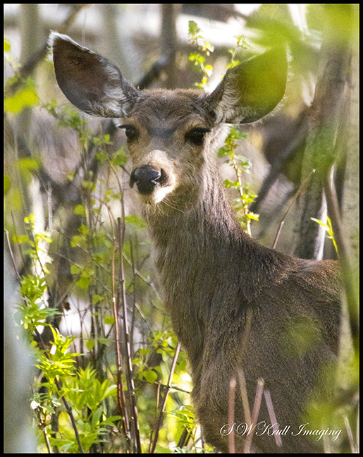 Mule Deer in the Woods