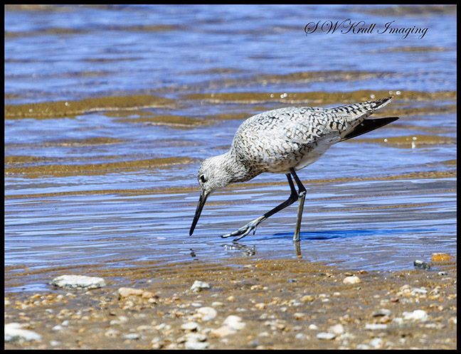 Stilted Sandpiper on Twin Lakes