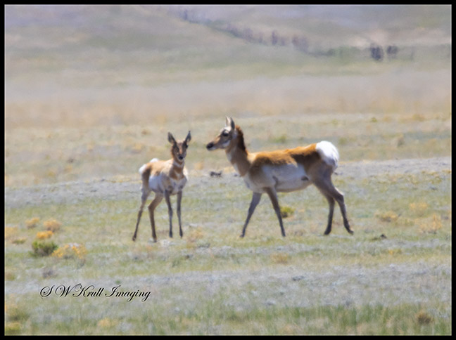 Pronghorn Antelope on the High Prairie